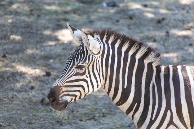 Close-up shot van een mooie zebra op een zonnige dag