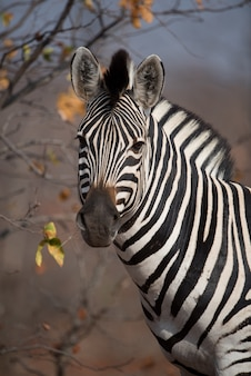 Close-up shot van een mooie zebra