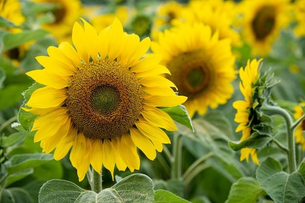 Close-up shot van een mooie zonnebloem in een zonnebloemveld