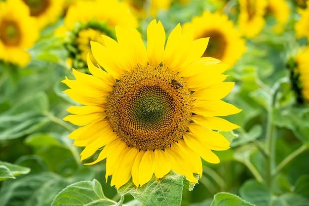 Close-up shot van een mooie zonnebloem met een bij erop