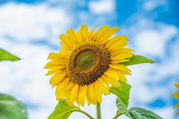 Close-up shot van een mooie zonnebloem met een blauwe lucht op de achtergrond