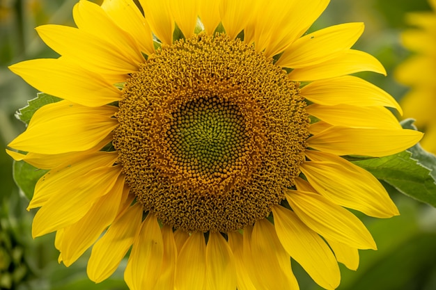Close-up shot van een mooie zonnebloem