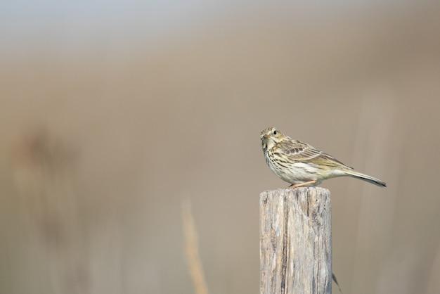 Close-up shot van een mus op een houten hek opzij kijken - perfect voor achtergrond