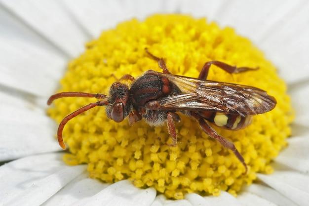 Close-up shot van een nomada ruficornis bij zittend op een bloem