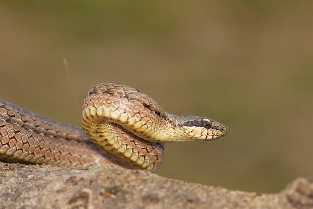 Close-up shot van een oostenrijkse coronella in aanvalspositie