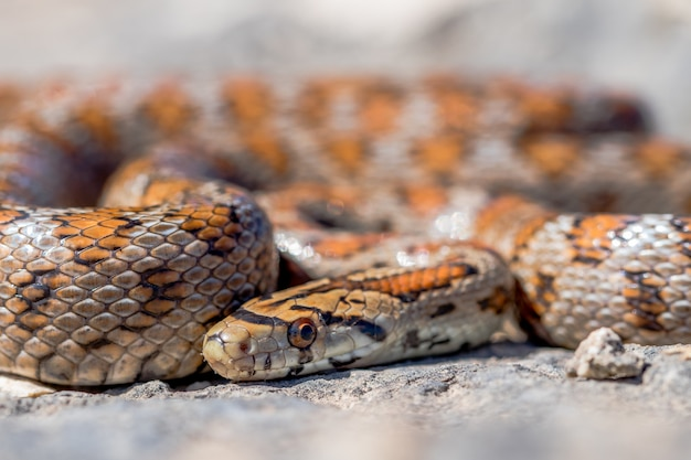 Close-up shot van een opgerolde volwassen leopard snake