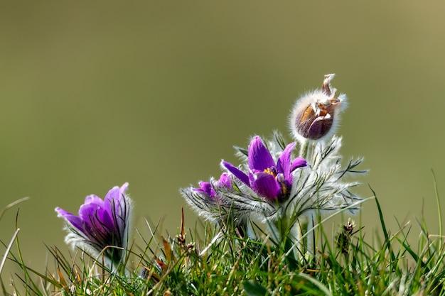 Close-up shot van een paarse pasqueflower met een onscherpe achtergrond