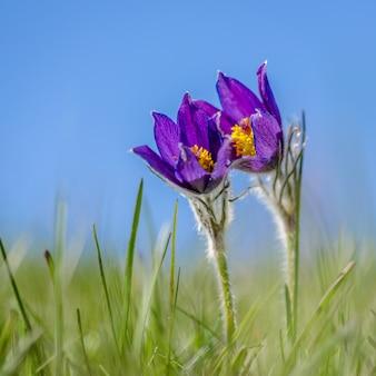 Close-up shot van een paarse pasqueflower