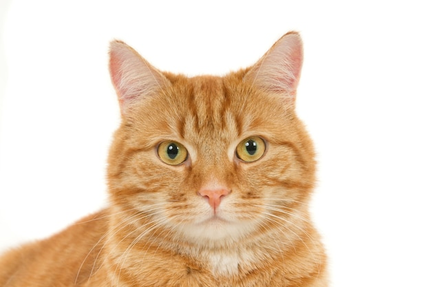 Close-up shot van een pluizige gember huiskat die direct op een witte achtergrond kijkt