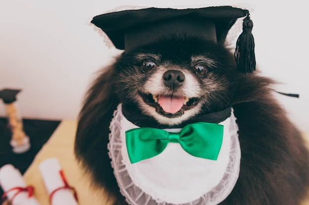 Close-up shot van een pommerse hondentong met een strik die lacht en naar de voorkant kijkt