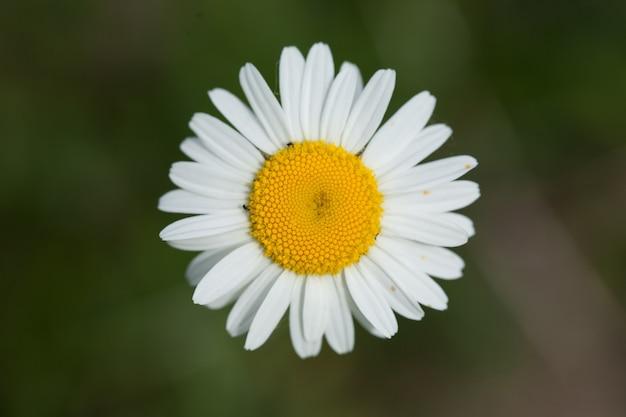 Close-up shot van een prachtig madeliefje onder het zonlicht Gratis Foto
