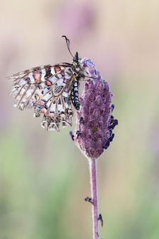 Close-up shot van een prachtige zerynthia rumina vlinder op wazig groen