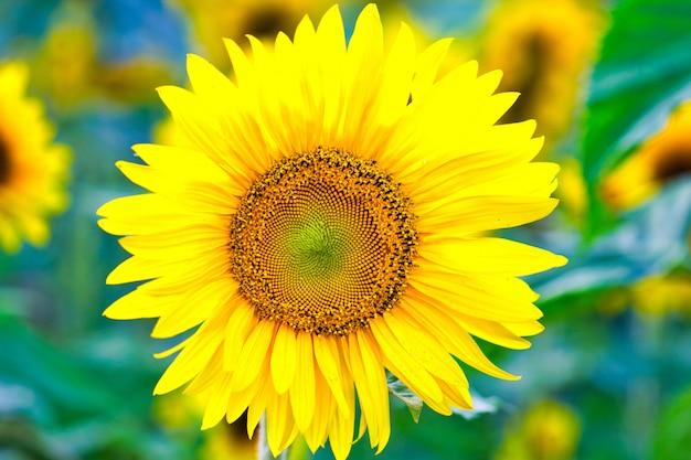 Close-up shot van een prachtige zonnebloem