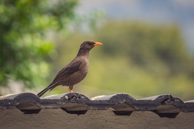Close-up shot van een roetzwarte lijstervogel die op het dak zit