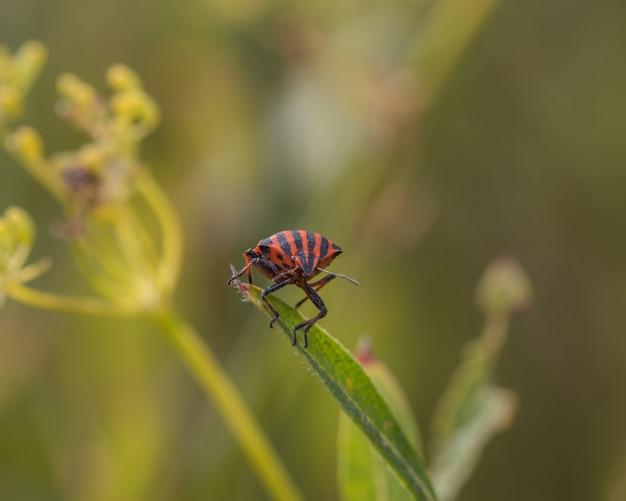 Close-up shot van een rood en zwart gestreepte stinken bug