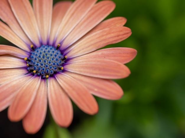 Close-up shot van een roze en paars madeliefje met waterdruppeltje