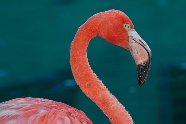 Close-up shot van een roze flamingo op blauw water