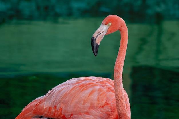 Close-up shot van een roze flamingo op een blauwe waterachtergrond