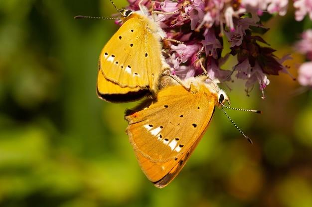 Close-up shot van een schaarse koperen lycaena virgaureae vlinder in spanje