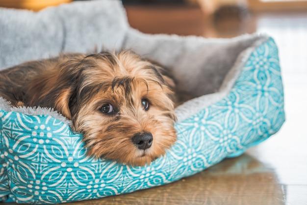 Close-up shot van een schattig schattig verdrietig ogende binnenlandse shih-poo type hond binnenshuis