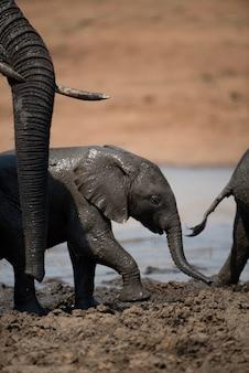 Close-up shot van een schattige babyolifant met een modderbad