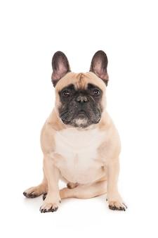 Close-up shot van een schattige bulldog geïsoleerd op een witte achtergrond