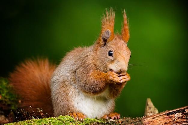 Close-up shot van een schattige eekhoorn met wazig groene achtergrond
