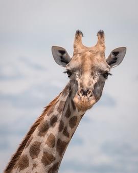 Close-up shot van een schattige giraf met een bewolkte hemel