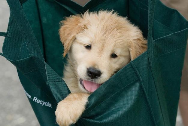 Close-up shot van een schattige golden retriever pup in een groene stoffen tas