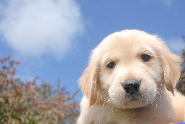 Close-up shot van een schattige golden retriever pup nieuwsgierig kijken naar de camera