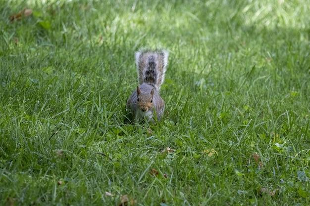 Close-up shot van een schattige kleine eekhoorn met een lange staart in een gras