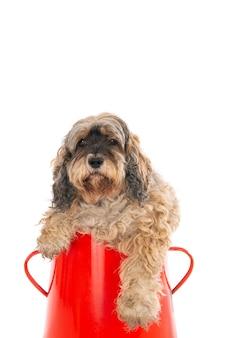 Close-up shot van een schattige labradoodle in een rode mand geïsoleerd op een witte