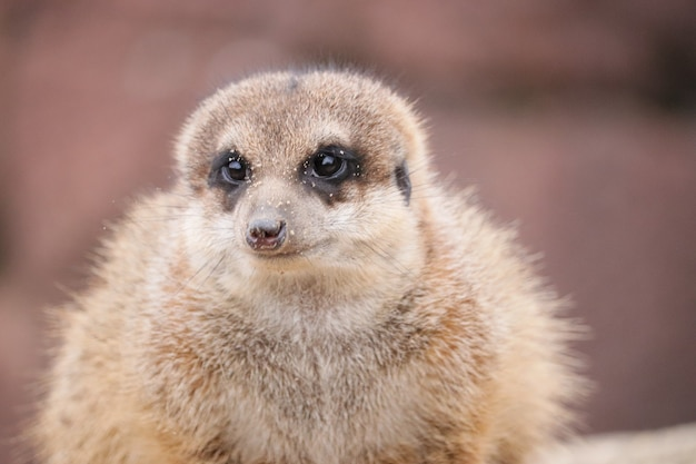 Close-up shot van een schattige meerkat