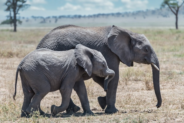 Close-up shot van een schattige olifant lopen op het droge gras met zijn baby in de wildernis