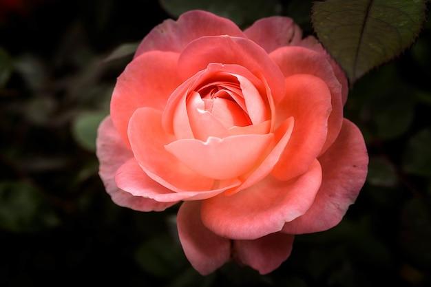 Close-up shot van een schattige roze roos met onscherpe achtergrond