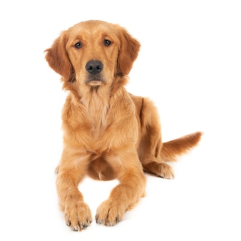 Close-up shot van een schattige zittende golden retriever pup geïsoleerd op een witte ondergrond