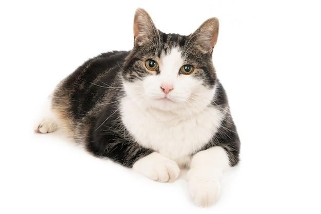 Close-up shot van een schattige zwart-witte kat die liegt