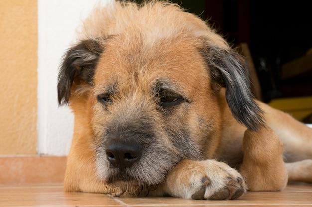 Close-up shot van een slaperige pluizige schattige hond die op de grond ligt