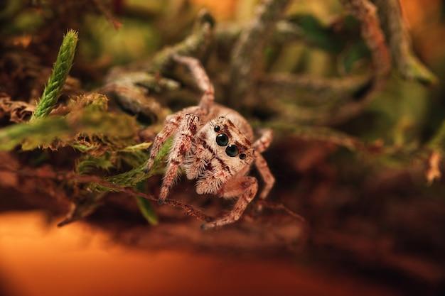 Close-up shot van een springende spin op mos