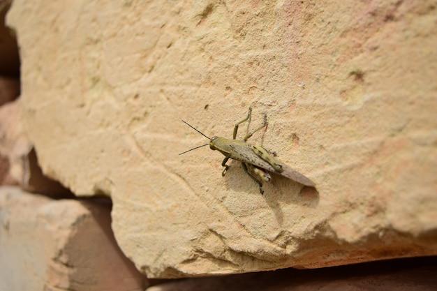Close-up shot van een sprinkhaan op een steen