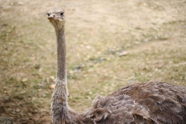 Close-up shot van een struisvogel met een onscherpe achtergrond