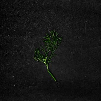 Close-up shot van een stuk van een korianderblad in de derde groeifase op een zwarte ondergrond