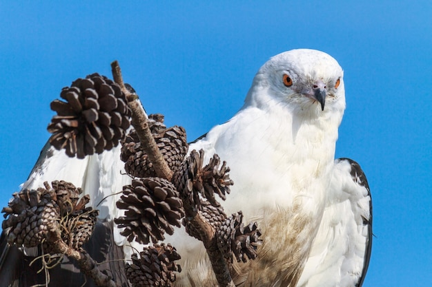 Close-up shot van een swallow-tailed kite op een dennenappel baars