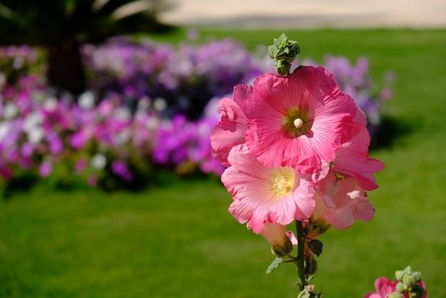 Close-up shot van een tak van roze stokrozen die in het park groeien