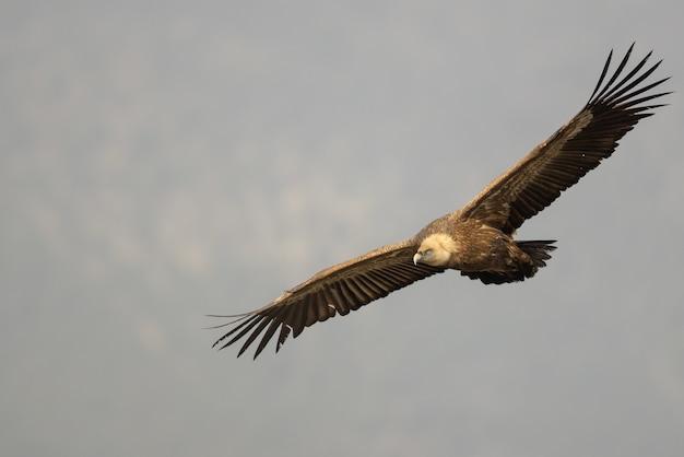 Close-up shot van een vale gier die in de lucht vliegt