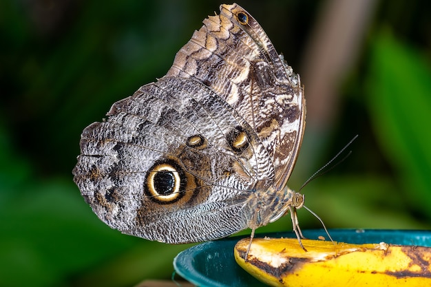 Close-up shot van een vlinder die op een banaan zit en hem opeet