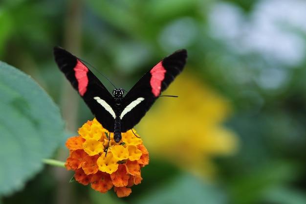 Close-up shot van een vlinder met zwarte vleugels, rode en witte strepen, rustend op een gele bloem