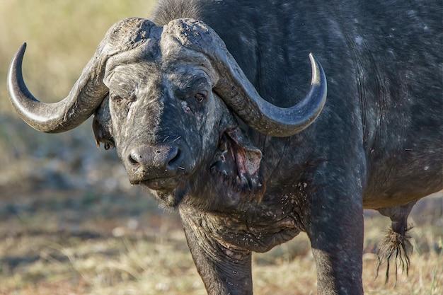 Close-up shot van een volwassen bizon met groen