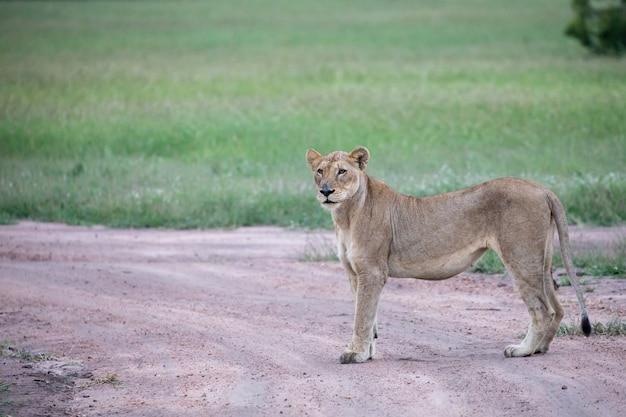 Close-up shot van een vrouwelijke leeuw staande op de weg in de buurt van de groene vallei