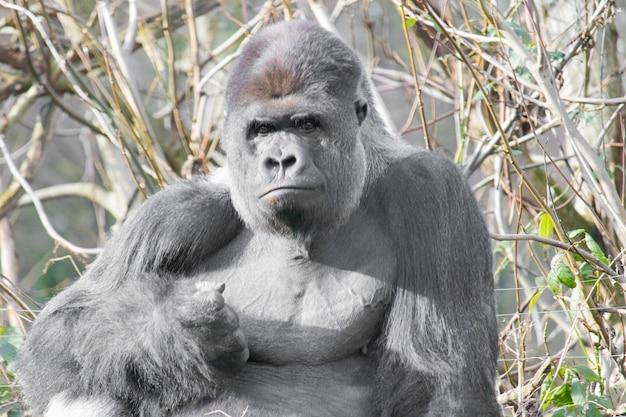Close-up shot van een waakzame gorilla zitten met hoge grassen op de achtergrond